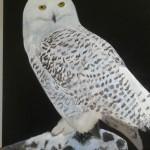 witte-uil-53x63-cm-acryl-op-doek